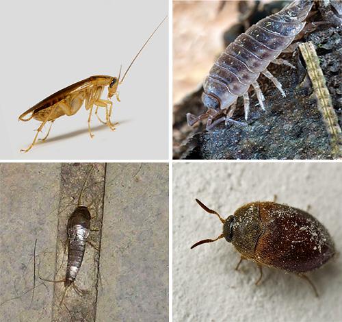 домашние паразиты насекомые фото
