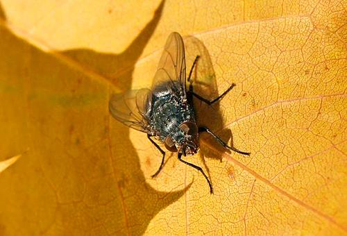 муха паразит