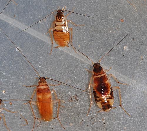 мебельный таракан как избавиться