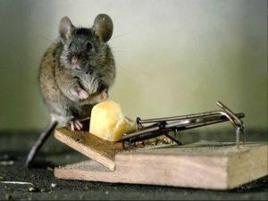 паразиты мышей