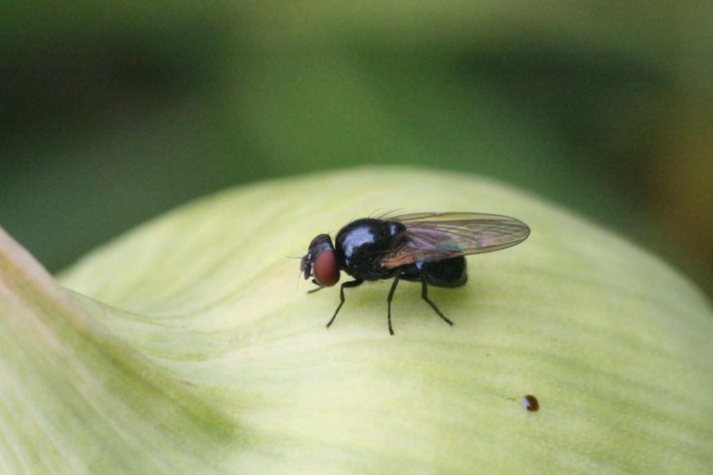 Как избавиться от луковой мухи дома