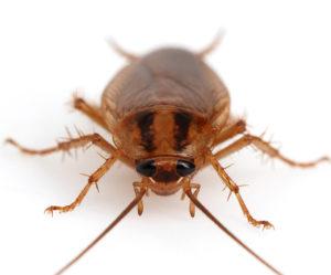 домашние тараканы как избавиться