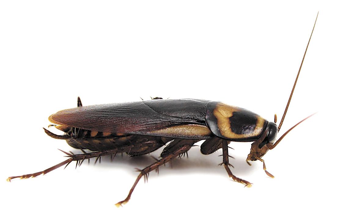 Канализационные тараканы как избавиться