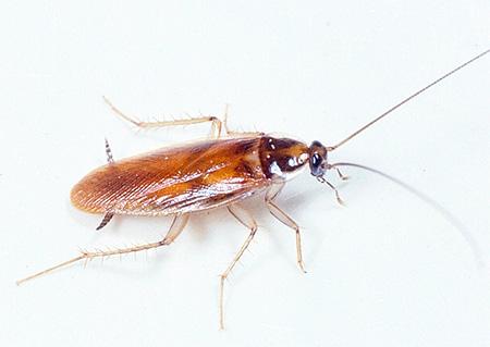 Как избавиться от рыжих тараканов – эффективные методы